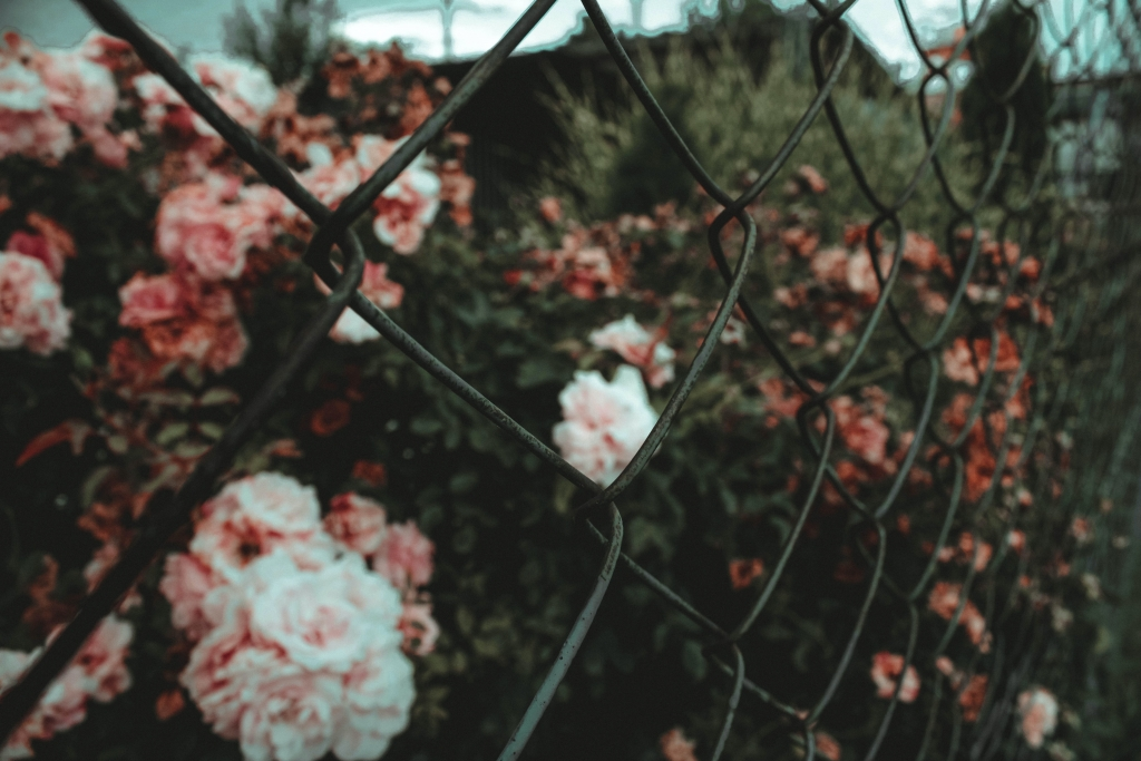 Garden of pink and white roses behind a chain link fence.